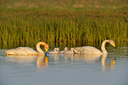 Whooper Swan family on the water Iceland (Whooper swan)