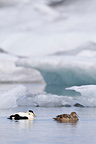 Couple Eider Iceland on a frozen lake� (Common Eider)