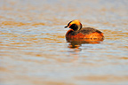 Horned Grebe on a lake Iceland (Horned Grebe)