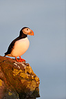 Puffins on a rock at sunset Iceland  (Puffin)