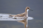 Red-necked Phalarope female in water Iceland� (Red-necked Phalarope)
