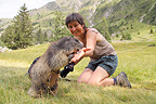 Alpine Marmot  intrigued by the camera Ecrins National Park (Alpine marmot )