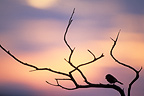 Chickadee on a branch at dusk Doubs Valley France (Chickadee)