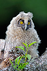 Young long-eared owl on a branch France  (Long-eared Owl )