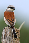 Red-backed Shrike on a post grazing France (Red-backed Shrike)