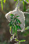 White-crowned Penduline tit nest on a willow Danube Delta (White-crowned Penduline Tit)