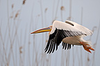 White pelican in flight before a reed bed of the Danube Delta (White Pelican)