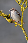 House Sparrow on a branch covered with lichen France (House Sparrow)
