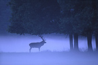 Red deer under the trees in the evening mist France (Red deer)