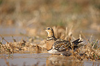Female Pin-tailed sandgrouse drinking water Spain (Pin-tailed sandgrouse)