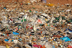Grey Herons eating garbage in a rubbish dump Spain (Grey Heron)