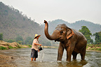 Mahout bathing his elephant into a river in Thailand (Asian elephant)