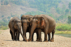 Asian Elephants joining their trunks at the edge of a river (Asian elephant)