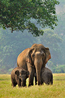 Asian elephant and two female elephants Thailand (Asian elephant)