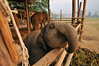 Asian Elephant Calf heads out of his enclosure Thailand (Asian elephant)
