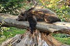 Male Eurasian Brown Bear resting on a fallen dead tree trunk (Brown bear)