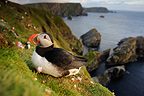 Atlantic Puffin on the cliffs Hermaness NR Scotland (Atlantic Puffin)