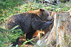 Eurasian Brown Bear looking for worms in a decayed stump (Brown bear)