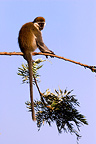 Green monkey on a branch, Lake Awassa, Ethiopia.
