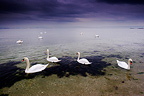 Mute swans on the water Etang de Berre France (Mute swan)