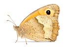 Meadow Brown on white background