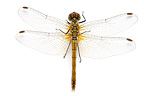 Ruddy Darter female on white background
