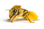 Bee pollen covered on white background