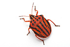 Striped shield bug on white background