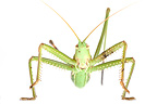 Predatory Bush Cricket on white background