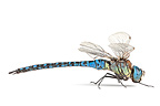 Southern Migrant Hawker on white background