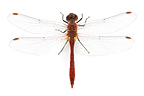 Ruddy Darter on white background