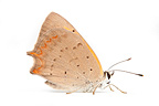 American Copper Butterfly male on white background