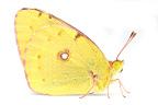 Clouded Yellow male on white background