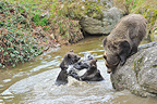 Brown bear cubs play-fighting in water near their mother, Bayerischer Wald NP, Germany