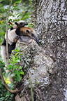 Northern Tamandua with a baby in a tree Costa Rica (Northern Tamandua )
