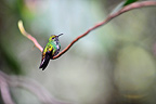 Hummingbird on a branch of Costa Rica (Hummingbird)