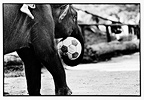 Elephant playing soccer in Thailand (Asian elephant)