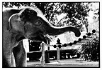 Asian Elephant playing with a xylophone in Thailand (Asian elephant)