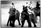 Asian Elephants playing polo Thailand (Asian elephant)
