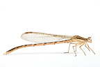 Brown Emerald Damselfly on white background