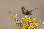Male Dartford warbler on a broom in blossom Spain (Dartford Warbler)