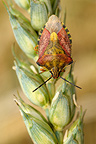 Black-shouldered shield-bug on an ear of barley organic (Black-shouldered Shield Bug)