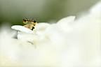 White-legged Damselfly on flowers of Hydrangea 'Annabelle'