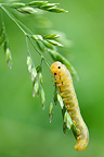 Sawfly larvae on grass in windy France