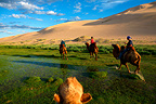 Walk to the dunes of the Gobi desert in Mongolia (Camelus bactrianus)