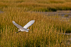 Flight of a Little Egret Baie de Somme Picardie France� (Little Egret)