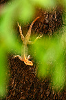 Agama on the trunk of an Acacia NP Zakouma Chad (Agama lizard)