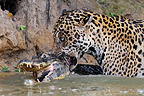 Jaguar killing the Caiman it has just captured Pantanal (Jaguar; Common caiman)
