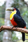 Red-breasted toucan on a branch Brazil (Red-breasted toucan)