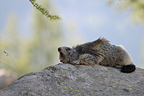 Marmot on a rock gaping PN Mercantour France (Alpine marmot )
